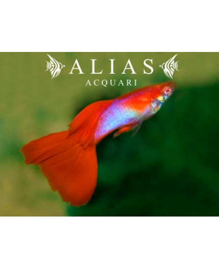 Guppy in coppia Japan Blue Red Tail Albino