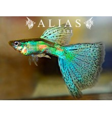Guppy in coppia Emerald Blue And Red Grass
