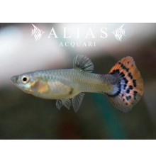 Guppy femmina Leopard