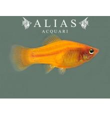 Xiphophorus variatus orange gold