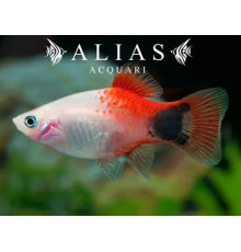 Platy red top mickey mouse