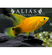 Platy Golden Mickey Mouse Highfin