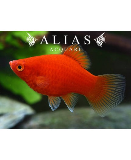 Platy Coral