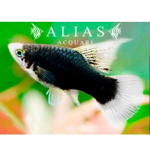 Platy Black Highfin