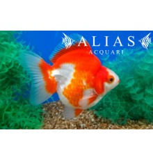 Carassius auratus ryukin red + white short tail long fin