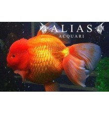 Carassius auratus red oranda long fin