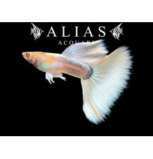 Guppy in coppia Full Platinum Albino