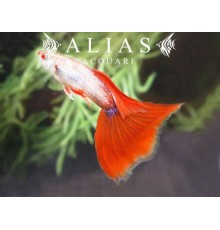 Guppy in coppia Platinum Red Tail Albino