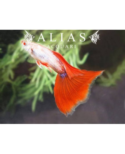Guppy in coppia Platinum Red Tail Albino