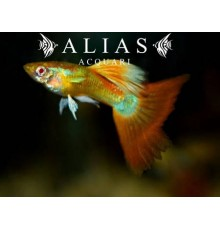 Guppy in coppia Topaz Red Albino