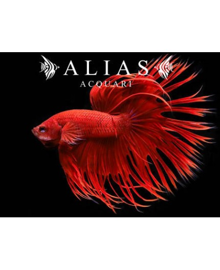 Betta splendens male crowntail red