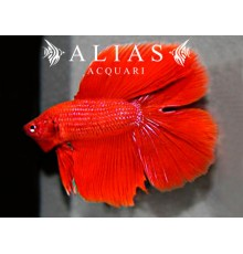 Betta splendens male Double Tail Red