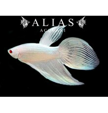 Betta splendens male Veiltail albino
