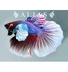 Betta splendens male Super delta big ears