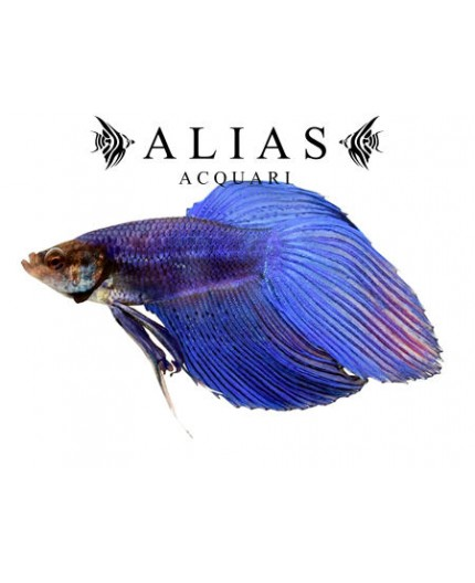 Betta splendens male veiltail Blue