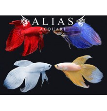 Betta splendens male veiltail mix