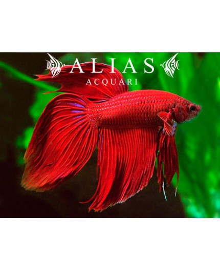 Betta splendens male veiltail Red