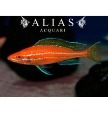 Paracyprichromis nigripinnis «Blue Neon Albino»