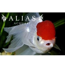 Carassius auratus red cap long fin