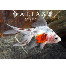 Carassius auratus calico long fin