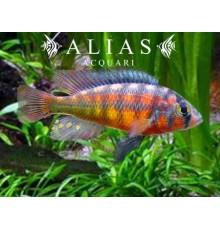 Haplochromis sauvagei Rock Kribensis