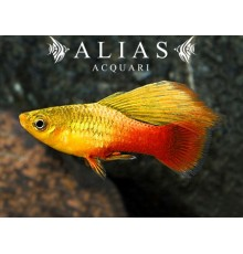 Platy variatus Orange Gold Simpson