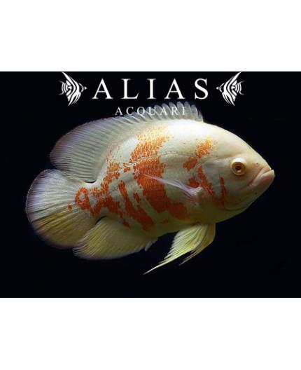Astronotus Ocellatus albino tiger oscar