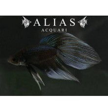 Betta splendens male veiltail Gray Black