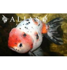 Carassius auratus red & white ranchu long fin