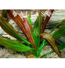 Echinodorus Rubin