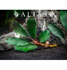 Bucephalandra sp. Theia Green
