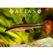 Epalzeorhynchus kallopterus