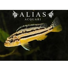 Melanochromis auratus Dwarf