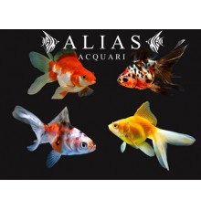 Carassius auratus butterfly mix long fin