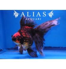 Carassius auratus red & black ryukin