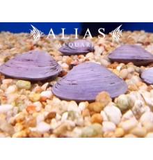 Corbicula javanicus Purple