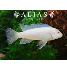 Pseudotropheus Socolofi albin