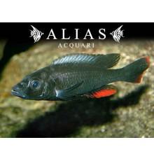 Haplochromis theuertherion