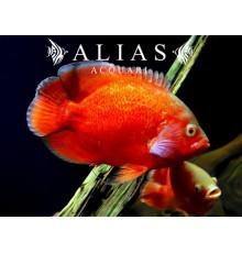 Astronotus Ocellatus red oscar