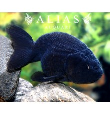 Carassius auratus black ranchu long fin