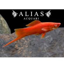 Xiphophorus helleri red albino