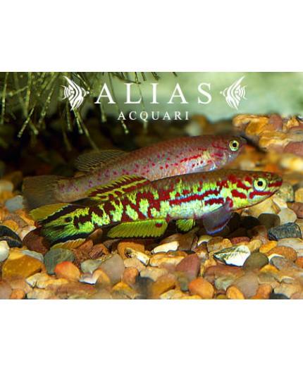 Aphyosemion (Fundulopanchax) spoorenbergi