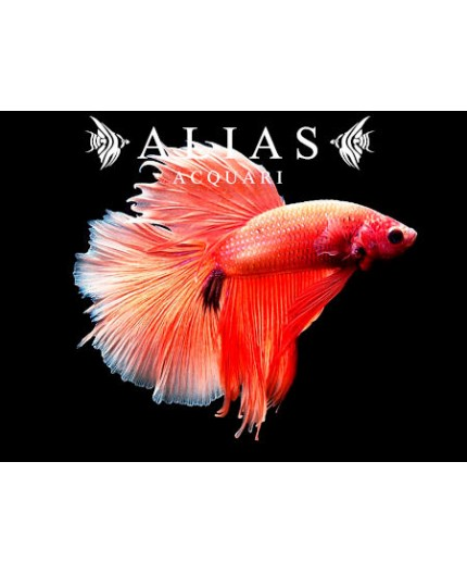 Betta splendens male veiltail Rose