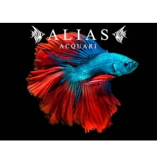 Betta splendens Bicolour Halfmoon