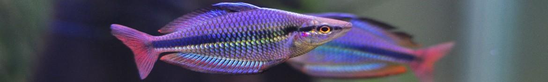 Pesci arcobaleno per acquario di acqua dolce