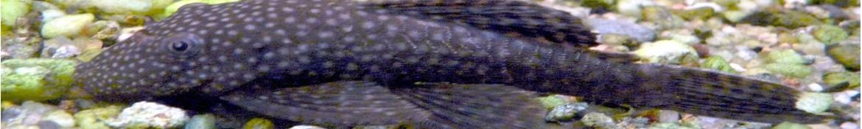 Pesci gatto Sudamericani