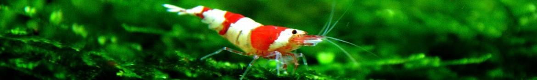 Caridina acquario come caridina japonica