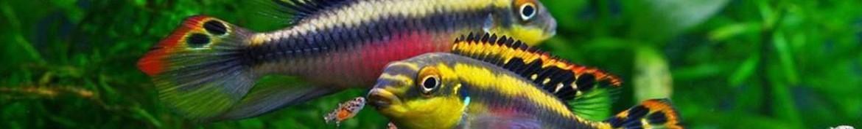 Ciclidi africani nani come pelvicachromis pulcher