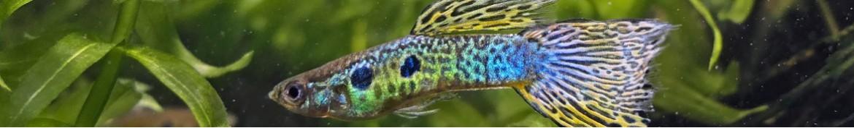 Guppy pesci tropicali acquisto online