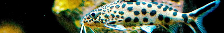 Pesce gatto africano Synodontis o pangasio